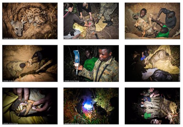 WAG Rangers rescue hyena